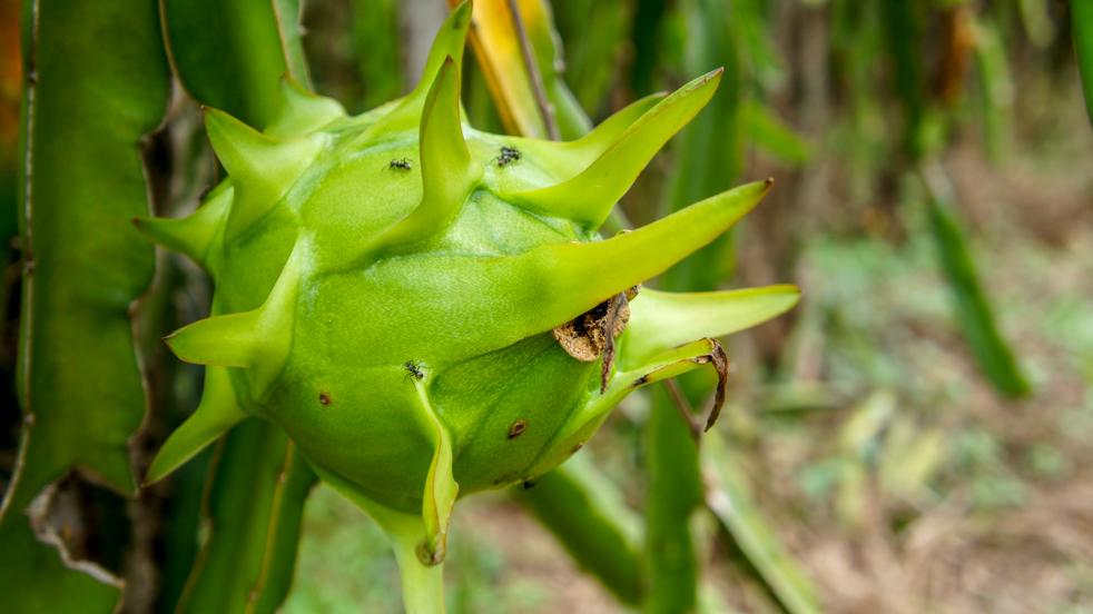10 najdziwniejszych azjatyckich owoców