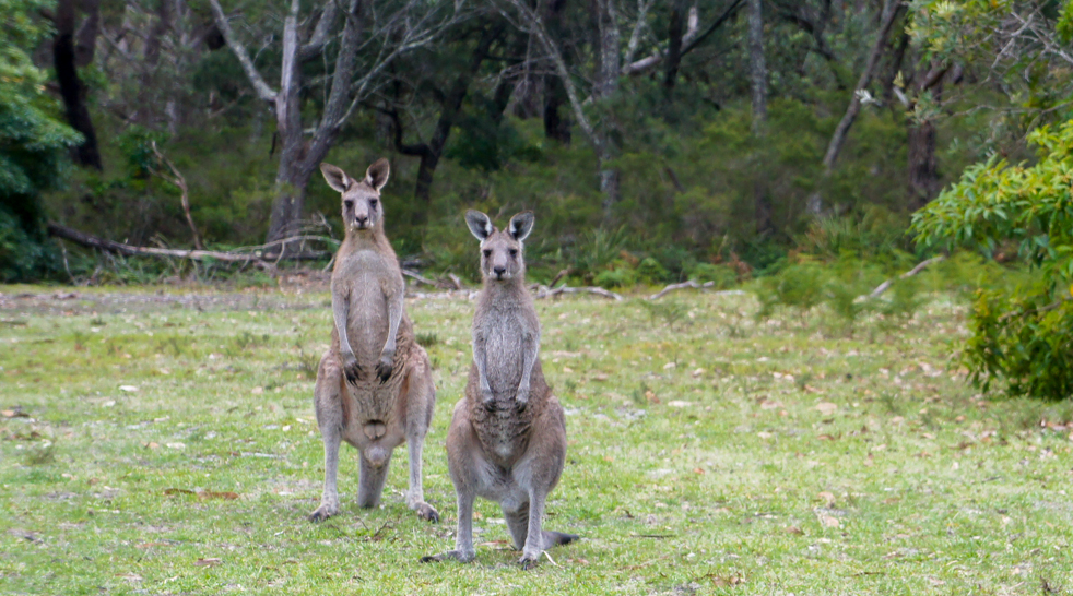 Z kangurami pod papugami – Jervis Bay