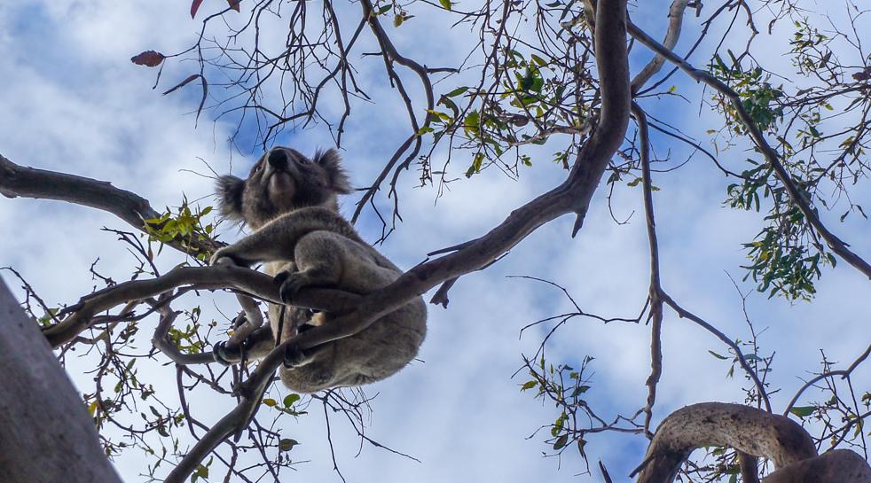 Spotkać koale na wolności – tyle wygrać!