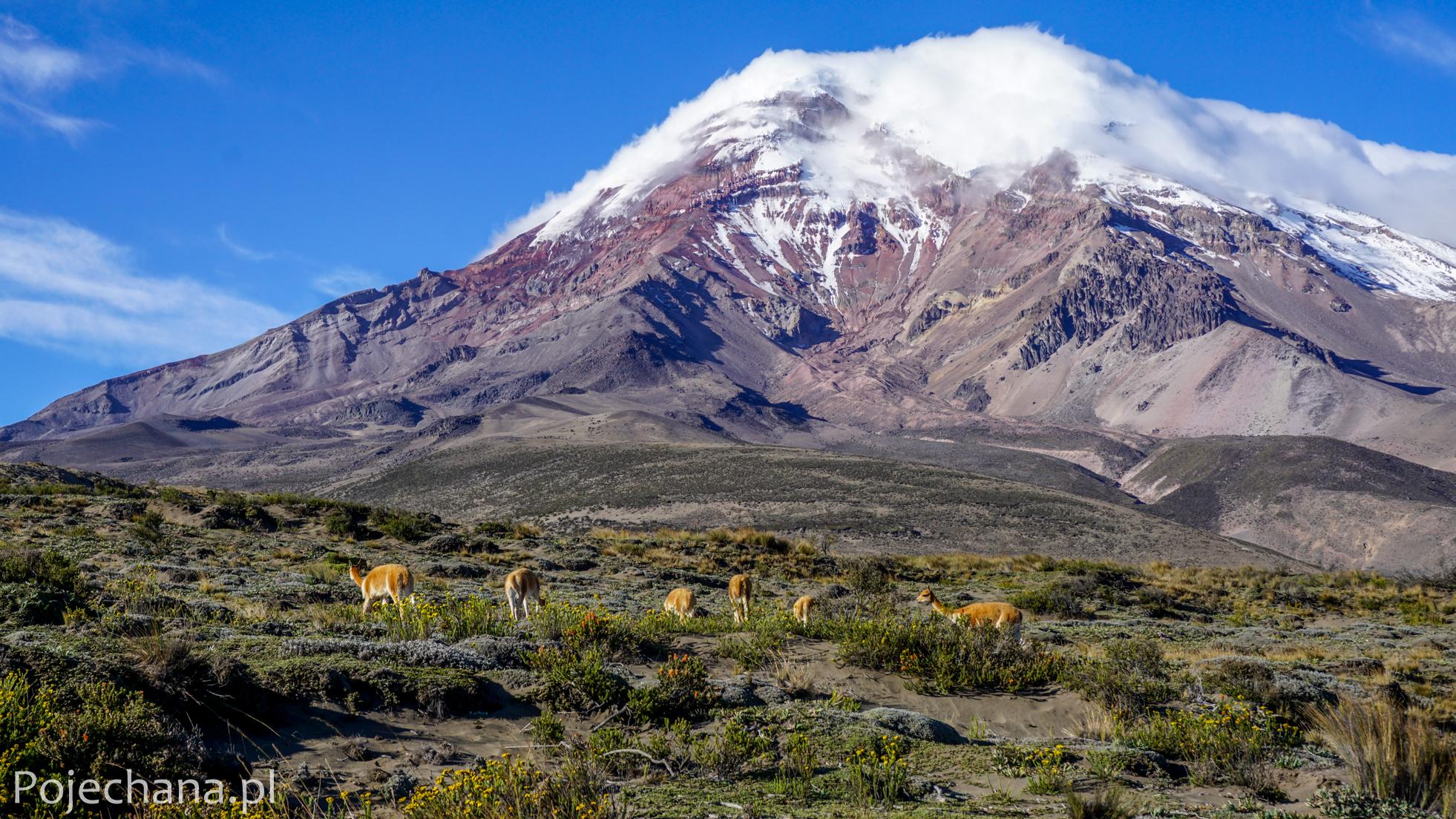 wikunie na tle wulkanu